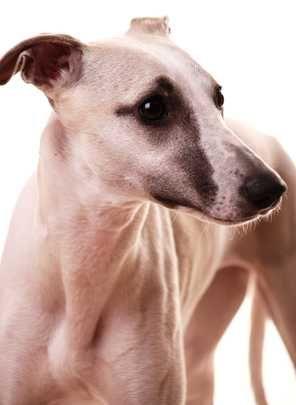 10 Razze di cani di taglia media o grande per abitanti di appartamenti o città