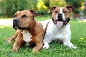 Temperamento di American staffordshire terrier