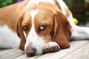 Temperamento Beagle - amabile e intelligente, forse un abbinamento perfetto