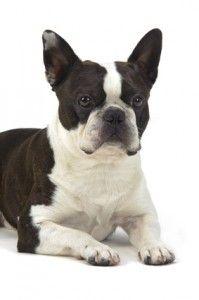 Boston terrier temperamento - amichevole, energico, cane di famiglia