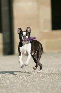 Tanzender Boston Terrier temperamento