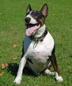 Bull Terrier Temperamento