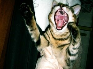 I gatti possono ottenere laringiti?