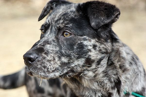 Temperamento del cane leopardo Catahoula: non puoi toccarlo