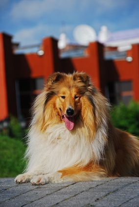 Un Rough Collie