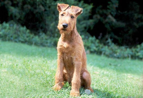 Irish_Terrier_1