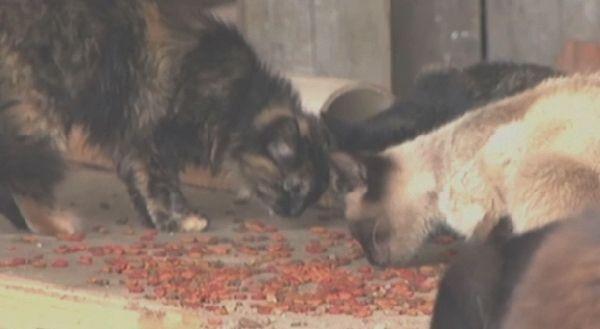 I gatti selvatici scompaiono dal museo del Mississippi