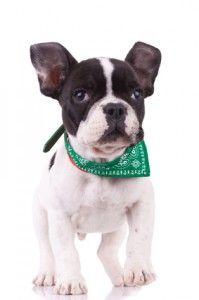Temperamento bulldog francese - sai cosa aspettarti?