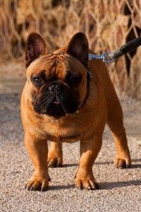Temperamento bulldog francese
