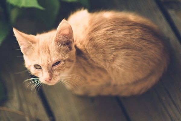 Rimedi casalinghi per le infezioni agli occhi di gatto