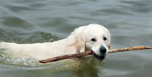Il cane del laboratorio nuota per il bastone