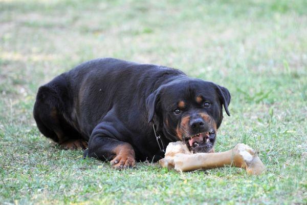 Rottweiler arrabbiato con osso sul prato mostrando segni di aggressività di cibo per cani