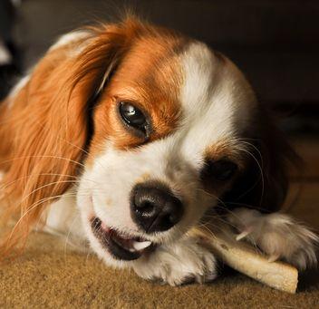 Serio re Charles Cavalier Spaniel con l`osso che mostra l`aggressività del cibo per cani