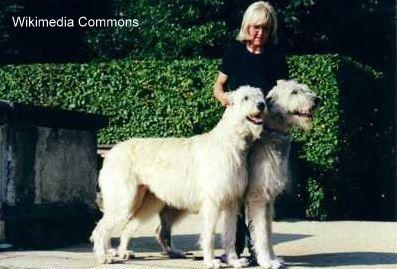 Temperamento dei wolfhound irlandesi - dolci gentiluomini temperati