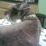 Is acupuncture effective in pets?