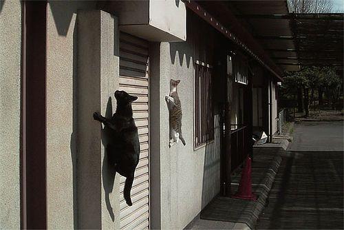 Kitties pareti da arrampicata? Guarda fuori, sono i gatti ragno!