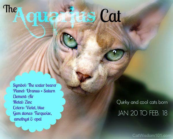 Oroscopo del gattino: febbraio appartiene al gatto acquario, il gatto dello zodiaco
