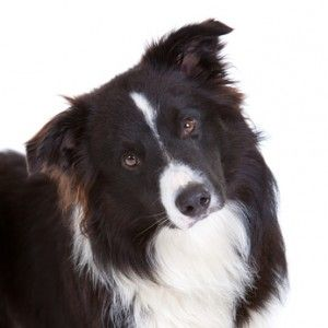 Border Collie Temperamento