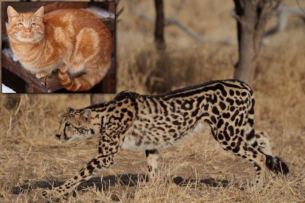 Nuovo legame genetico trovato tra gatti selvatici e domestici