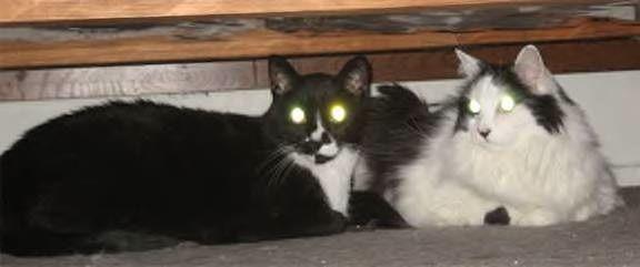 La coppia di fratelli gatto anziani ha bisogno di furever a casa in socal