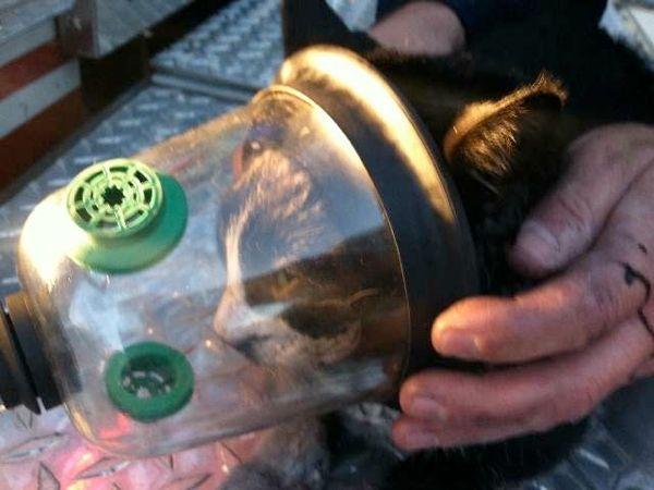 La maschera di ossigeno per animali salva la vita del gatto