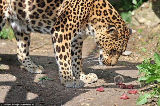 Rat steals big cat's lunch in delicious act of chutzpah