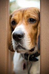 Ansia da separazione nei cani - quali segni e sintomi cercare?