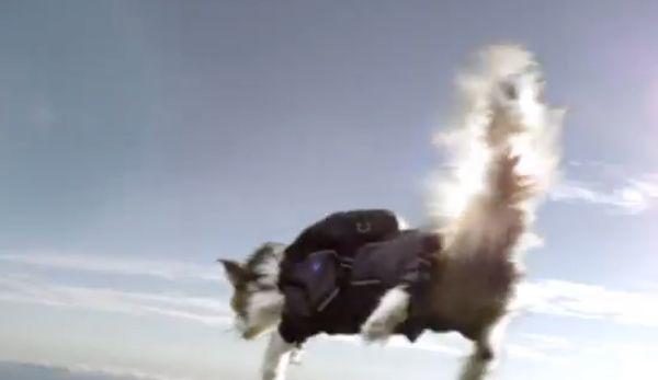 I gatti svedesi di paracadutismo scintillano e si lagnano