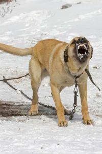 Le 9 razze canine più aggressive