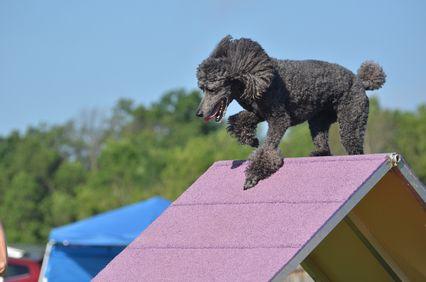 Silver Standard Poodle a una prova di agilità del cane
