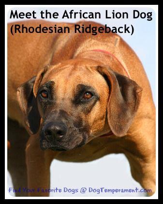 Il temperamento rhodesian ridgeback - incontrare il cane leone africano