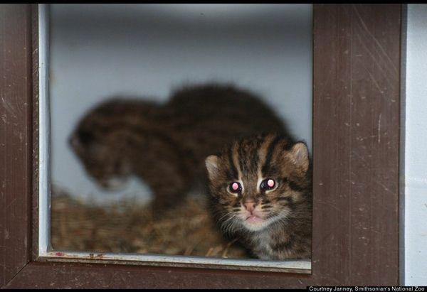Lo zoo nazionale smithsonian accoglie la sua cucciolata di gatti da pesca per bambini
