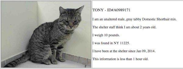 Aggiornamento: tony il gatto valigia brooklyn risulta positivo alla leucemia felina