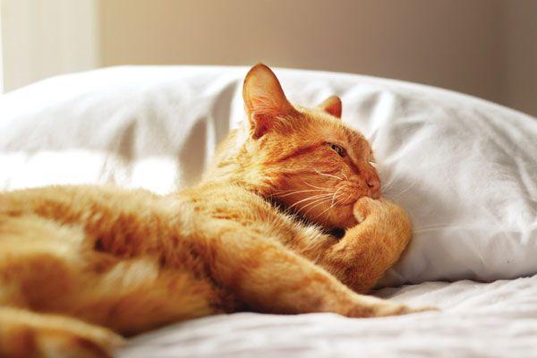 Parliamo con morris, il gatto delle celebrità originale